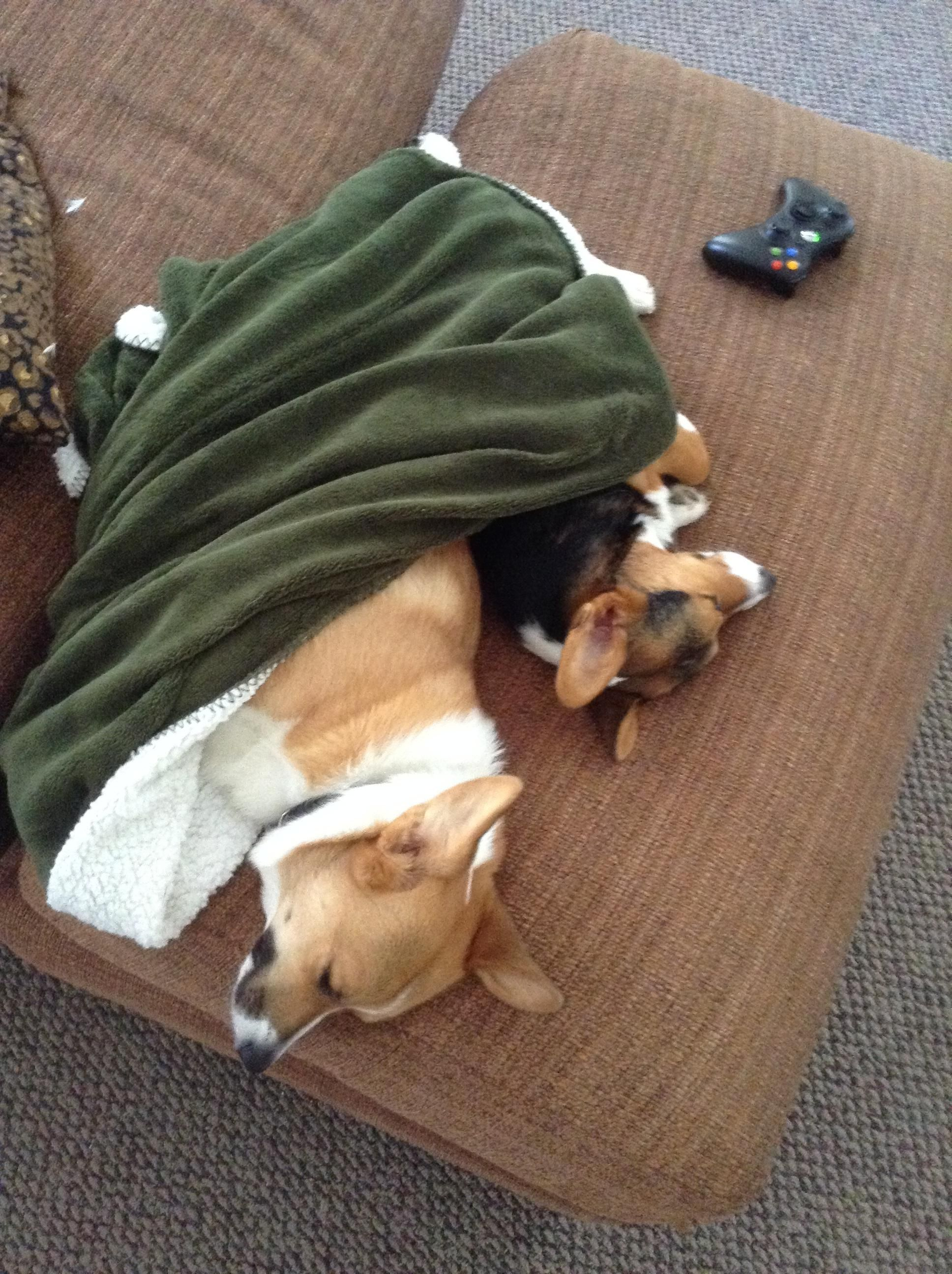 Two corgis, one blanket...and a whole lot of aww ...