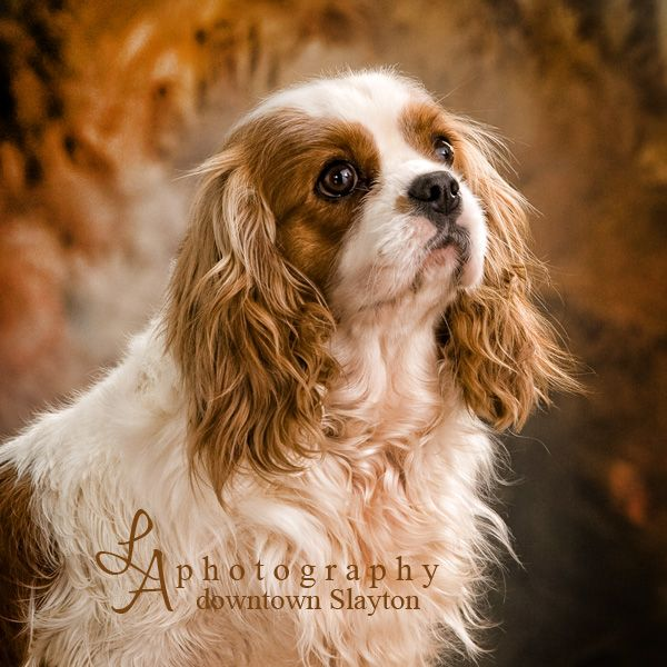 Adult cavalier king charles spaniels for sale join