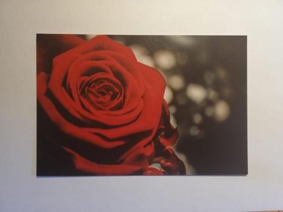 red rose Botanik Natur Rose Fotografie Makro Miniatur