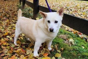Valentine Is An Adoptable Corgi Dog In Baltimore Md This Is
