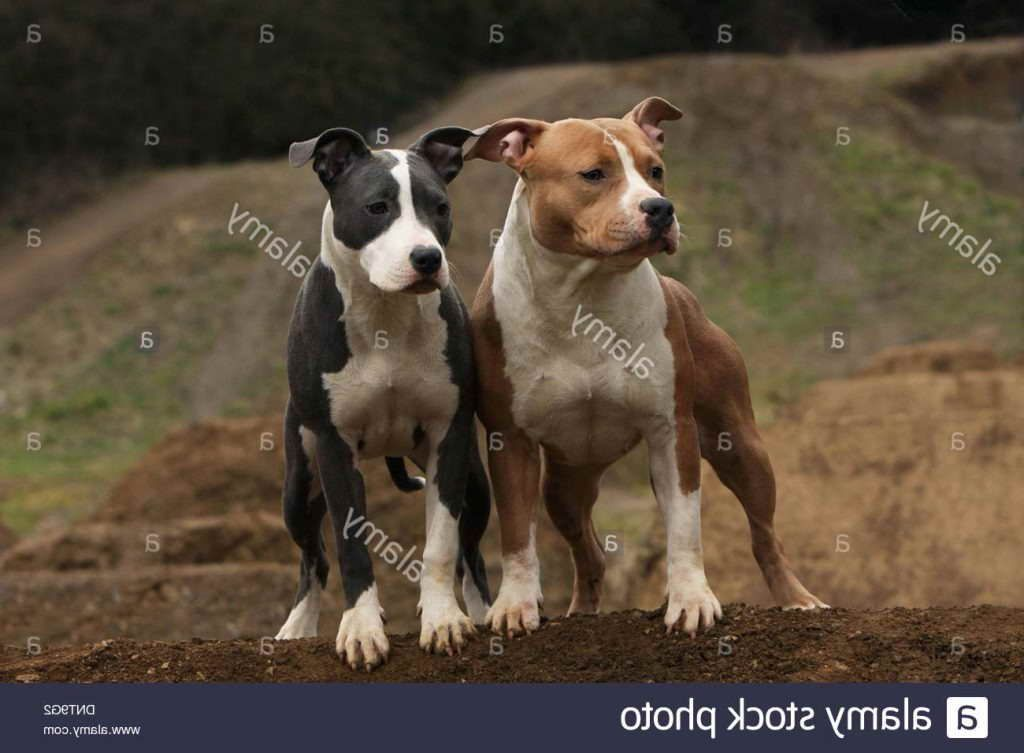 American Staffordshire Terrier Puppies For Sale In Ohio