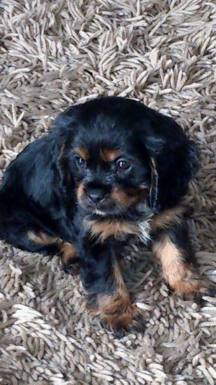 Cavalier King Charles Puppy Houghton Le Spring Tyne And Wear