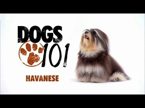 Dogs 101 Havanese Eng Havanese Dogs 101 Dogs