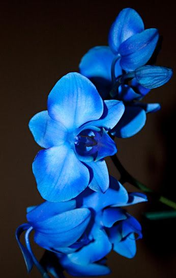 Blue Orchid Orchids In Symbolism The Beauty Charm Elegance Strength And Peace In Ancient Greece Symbolized Virility Fertil Orchids Blue Orchids Flowers