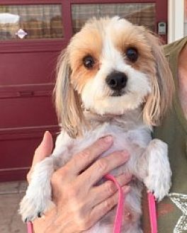 Yorkie, Yorkshire Terrier/Maltese Mix Dog for adoption in