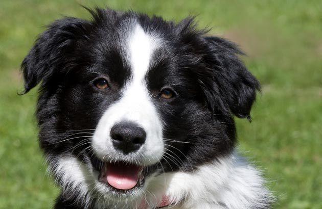 Beautiful Border Collie Beautiful Border Collies Best Dog