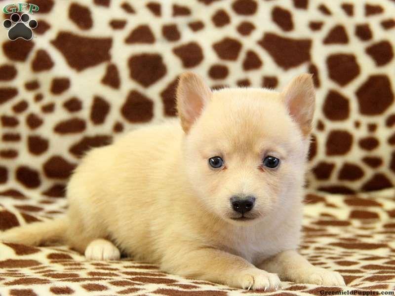 Alaska, a cute little Pomsky Puppy #pomsky | Pomsky ...