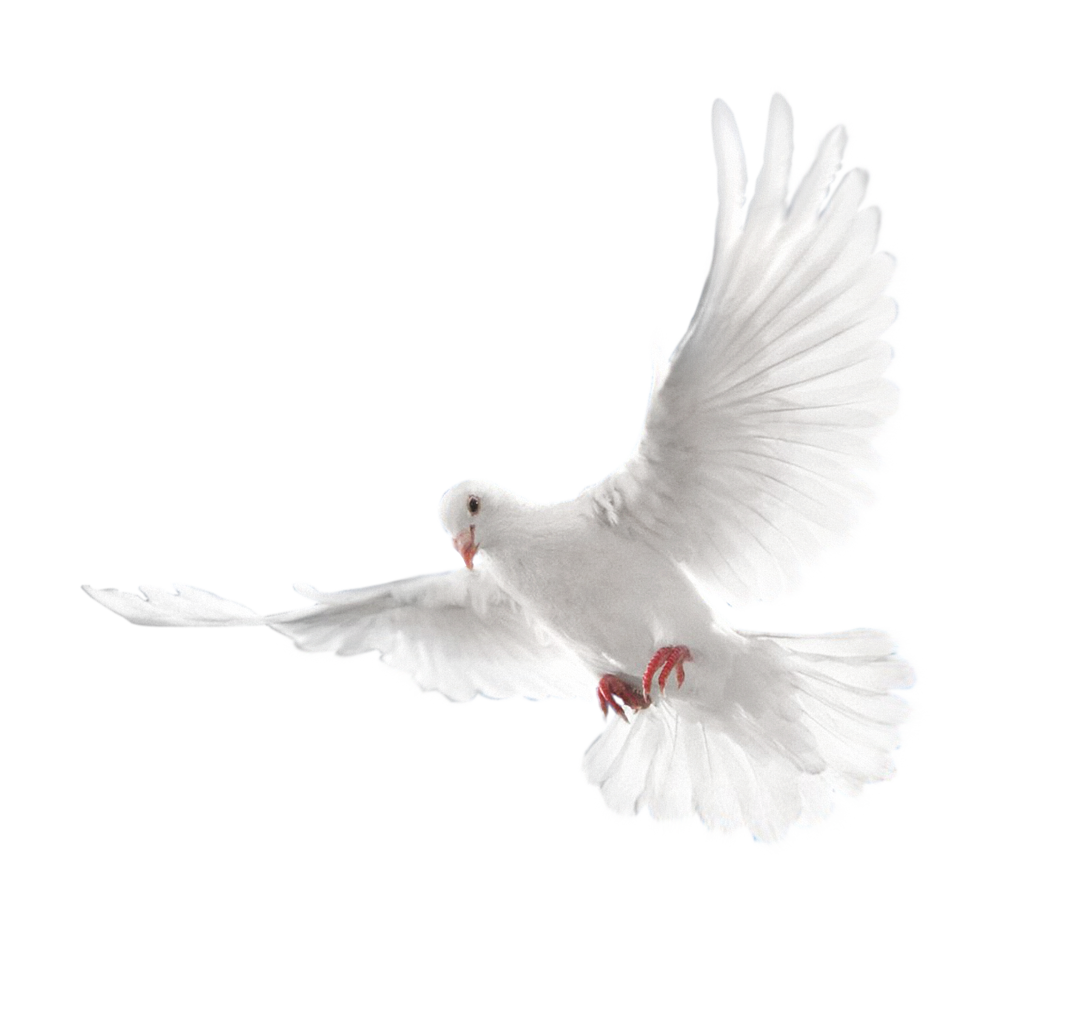 White Flying Pigeon Png Image Flying Pigeon Pigeon Png Images
