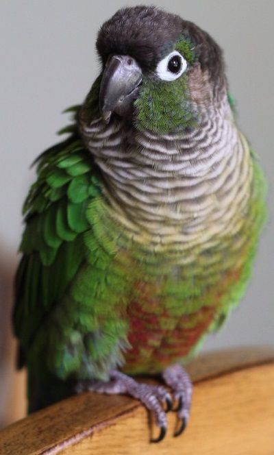 Green Cheek Conure - Looks almost identical to mine. The ... - photo#42