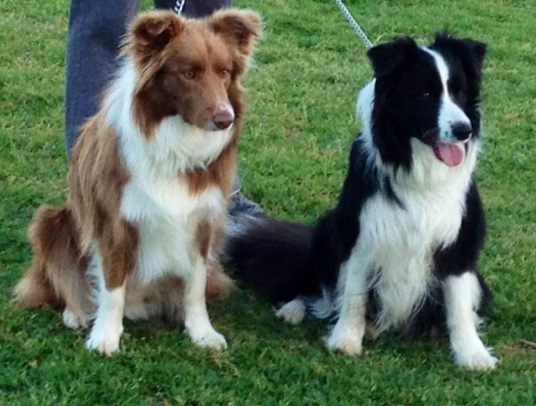 Dash And Mitch Border Collies Border Collie Puppies Collie Puppies Dog Lovers