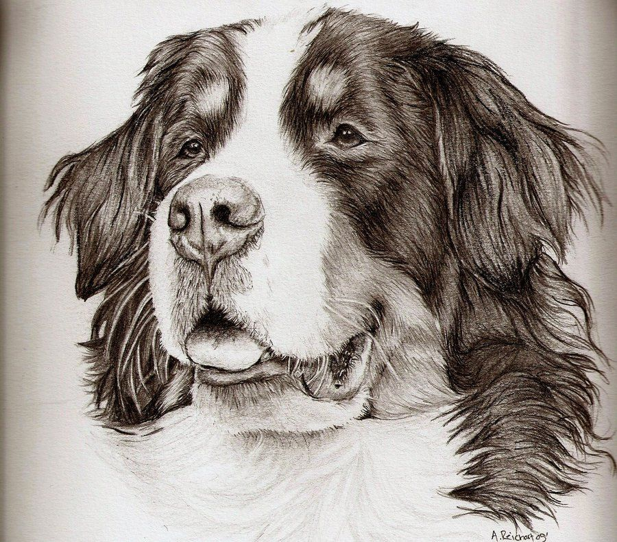 Bernese Mountain Dog By ~xx-ashley On DeviantART | Amazing Drawings | Pinterest | Mountain Dogs ...