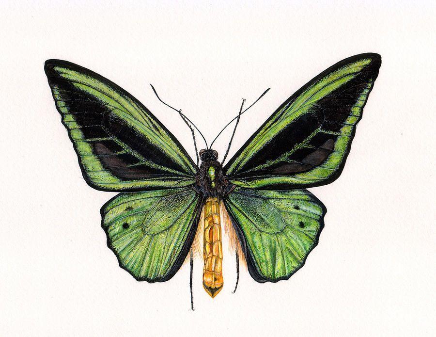 Butterfly Painting - Birdwing Butterfly by Rachel Pedder-Smith