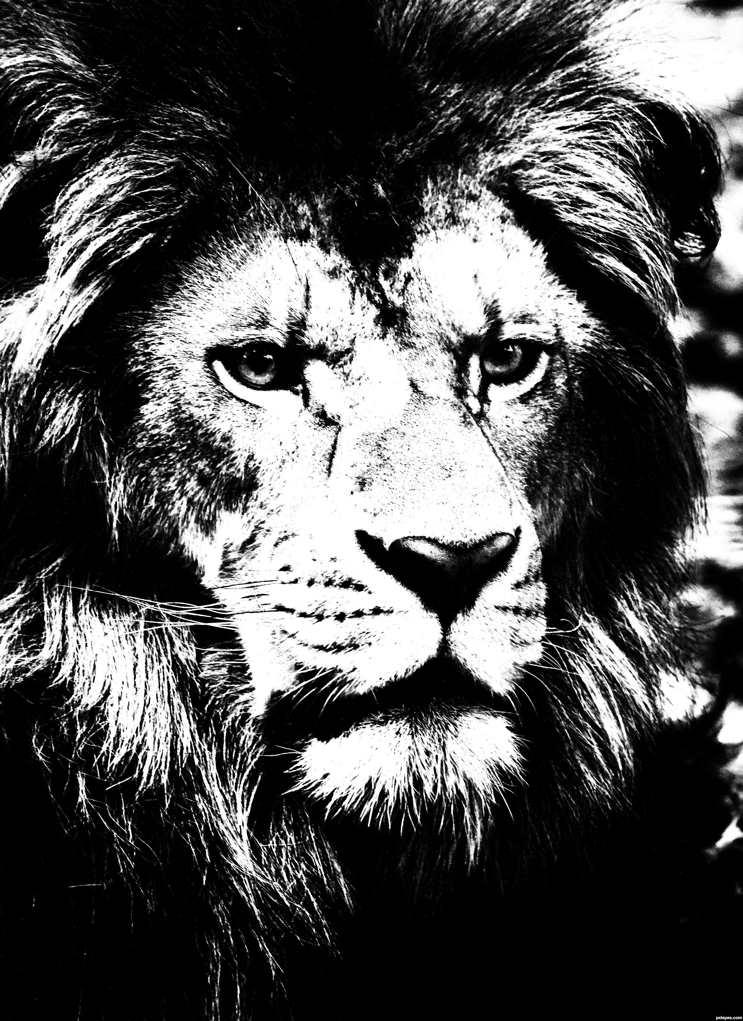 High contrast black and white image of a lion photography contests photography gallery