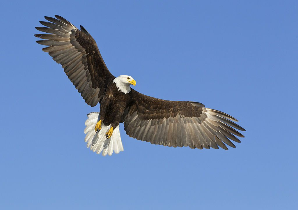 A Picture Of The Bald Eagle