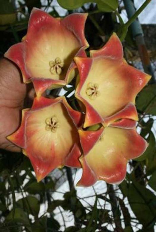 Fleur De Porcelaine Hoya Lauterbachii Achat Willemse Fleur