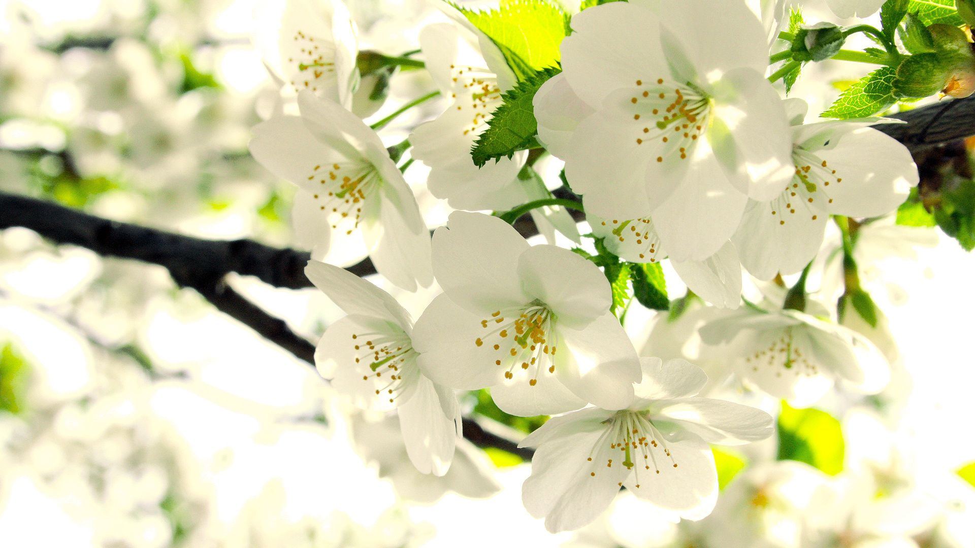 Image Result For Flowers Wallpaper Beautiful Flowers Photos Apple Tree Flowers Flower Photos