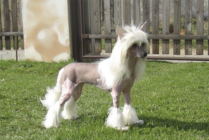 """El perro con cresta chino sin pelo, es una raza que puede venir en dos variedades dentro de la misma camada, el pelo y el soplo de polvo. El sin pelo con cresta chino no está completamente libre de pelo, que de hecho tienen """"medias"""", """"cresta"""" en la cabeza y …"""