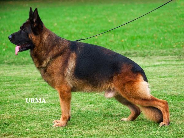 Va Enosch Von Amasis German Sheperd Dogs German Shepherd Puppies German Shepherd Dogs