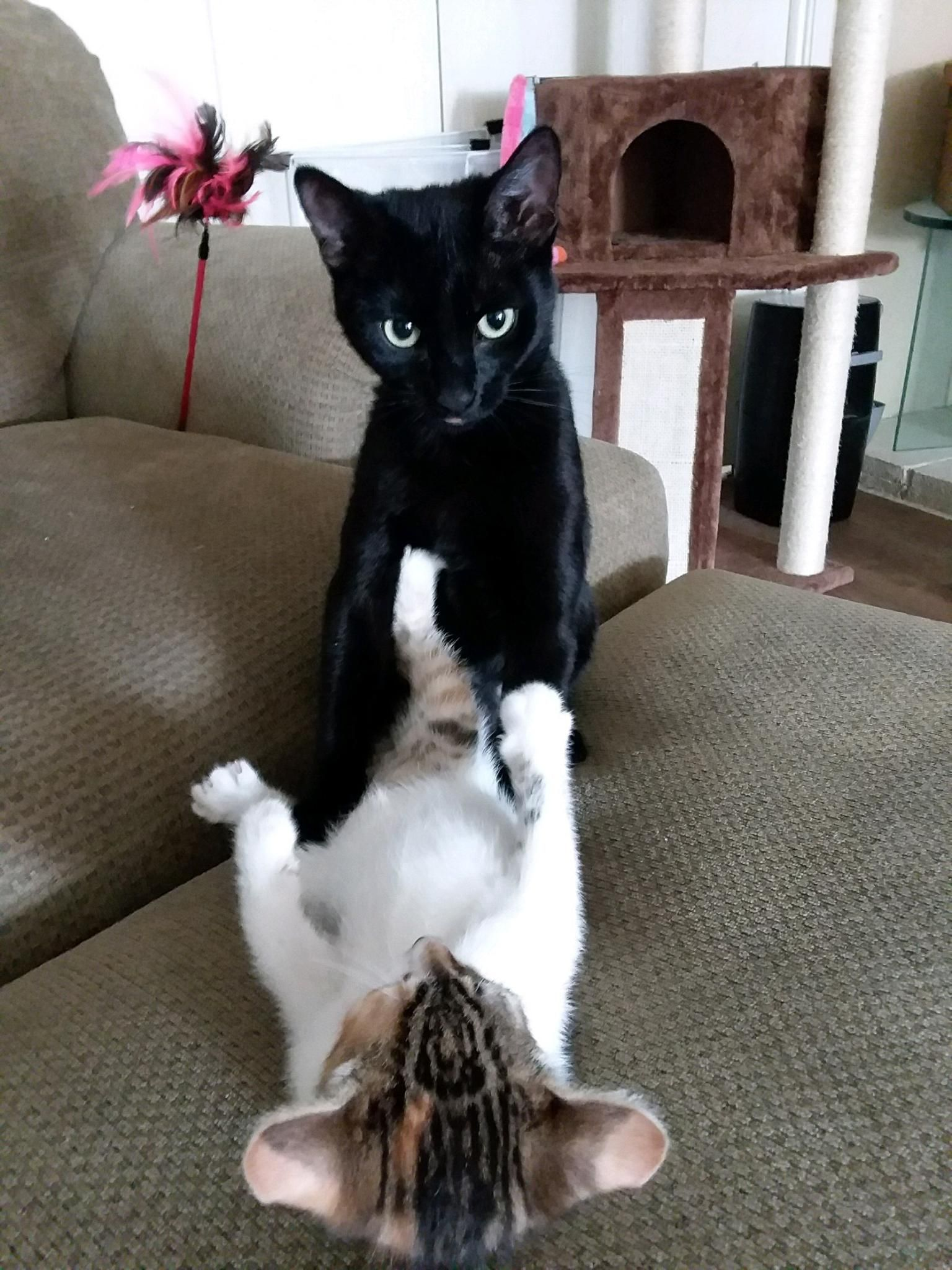 My Cat Kept Getting Bullied By My Sister S New Kitten She Finally Stood Up For Herself Cats Kitten Animals