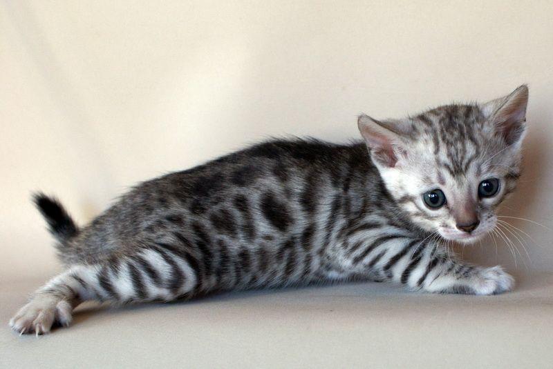 Silver Bengal Kittens Silver Spotted Kitten Girl Born 06 09 2010