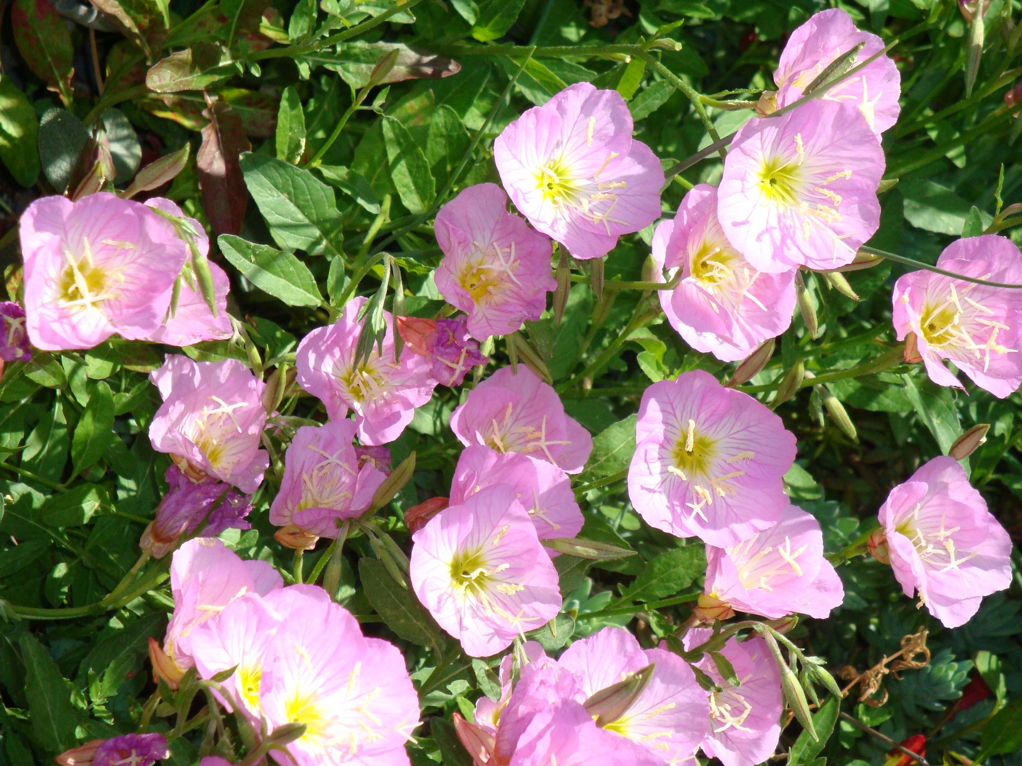 Pink evening primrose open up shine evening primrose plants and flowers mightylinksfo Image collections