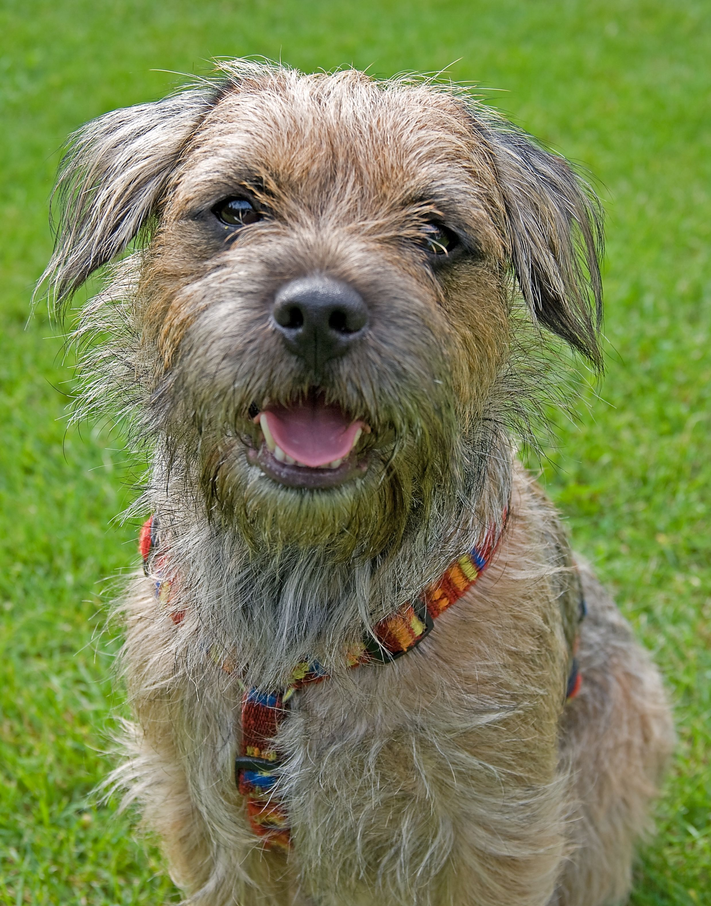 Pin By Eileen Zaldonis On Border Terriers Border Terrier Puppy