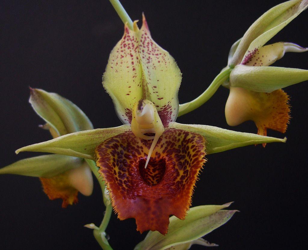 Catasetum Schmidtianum X Penang Orchids Orchidaceae Penang