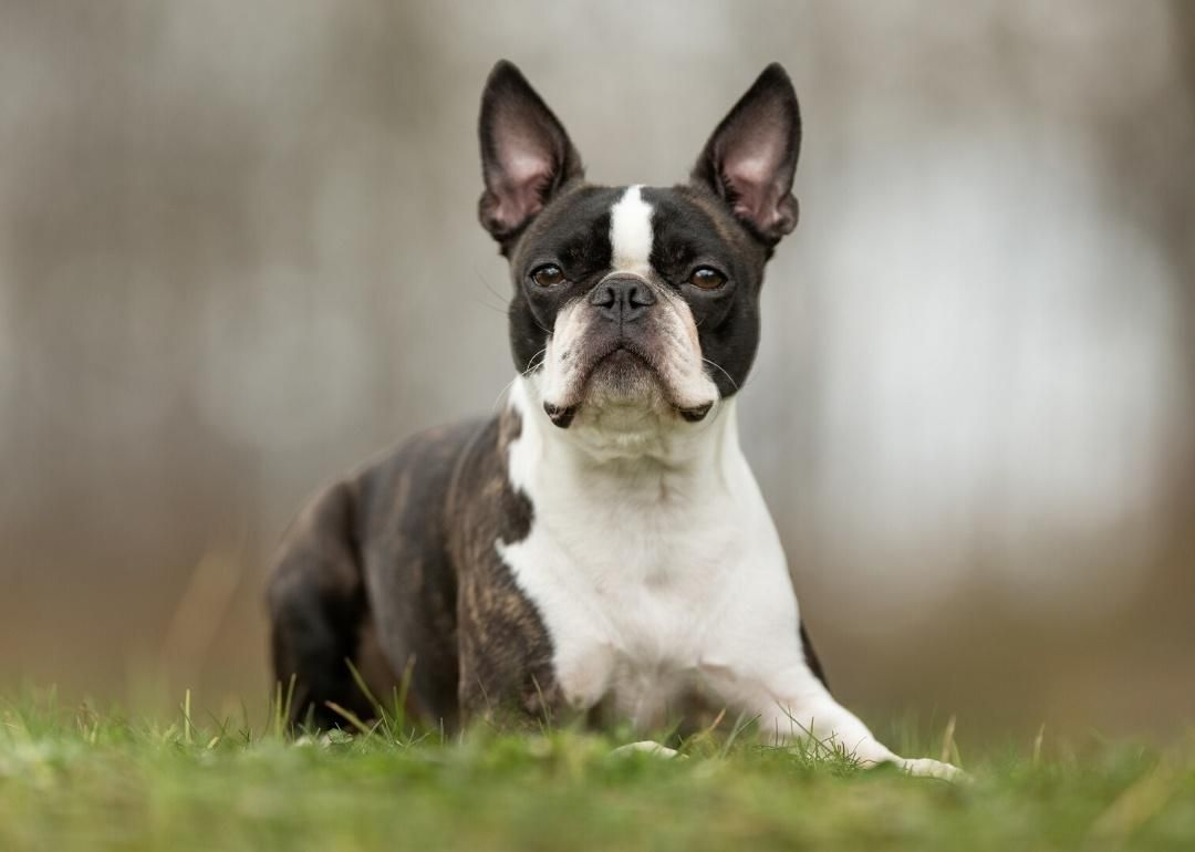 Tiniest Dog Breeds In 2020 Boston Terrier Tiny Dog Breeds Terrier