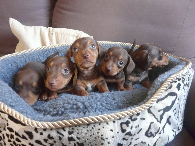 Miniature Dachshund Babies I D Love To Have Them All Baby