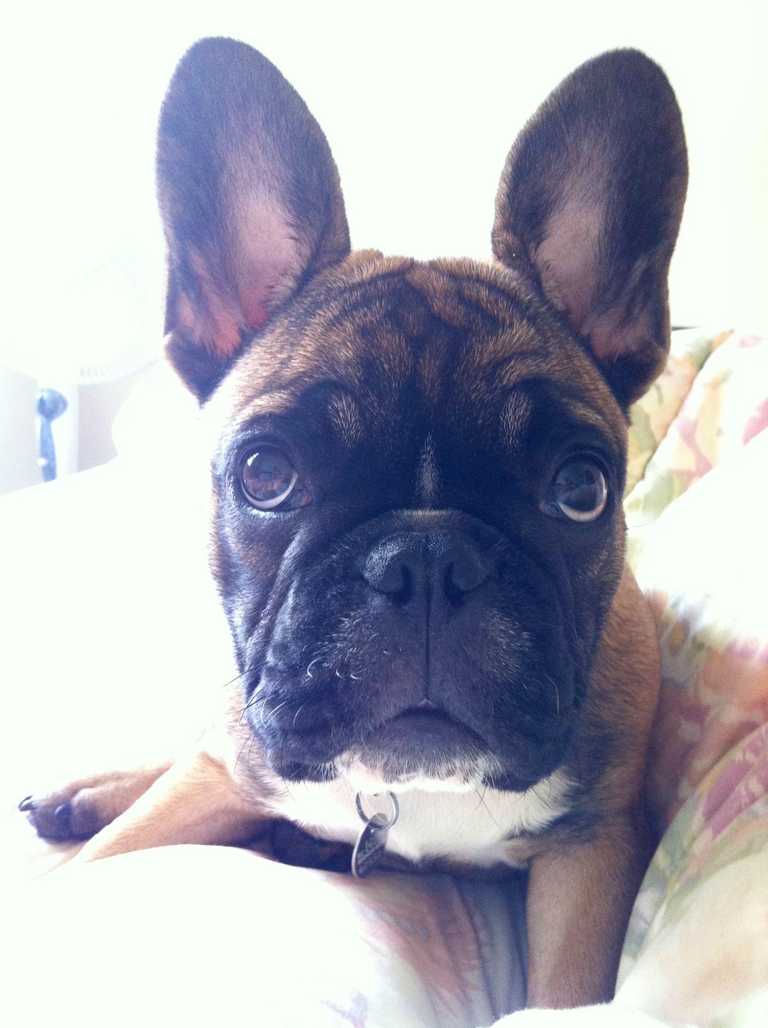 Frenchie french bulldog bulldog boston terrier