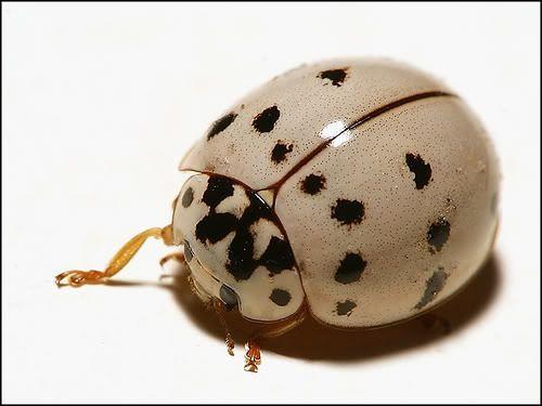 Albino Lady Bug Albino Ladybug And Insects