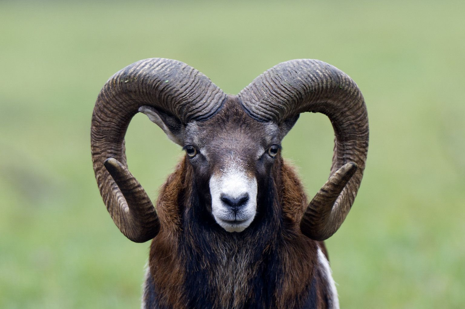 Rams Pay Big Price For Having Big Horns, Study Shows