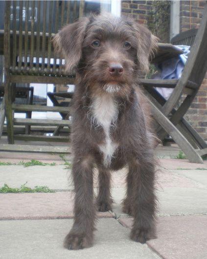 Jackapoo Jack Russell Terrier Cross Poodle Ben We Have