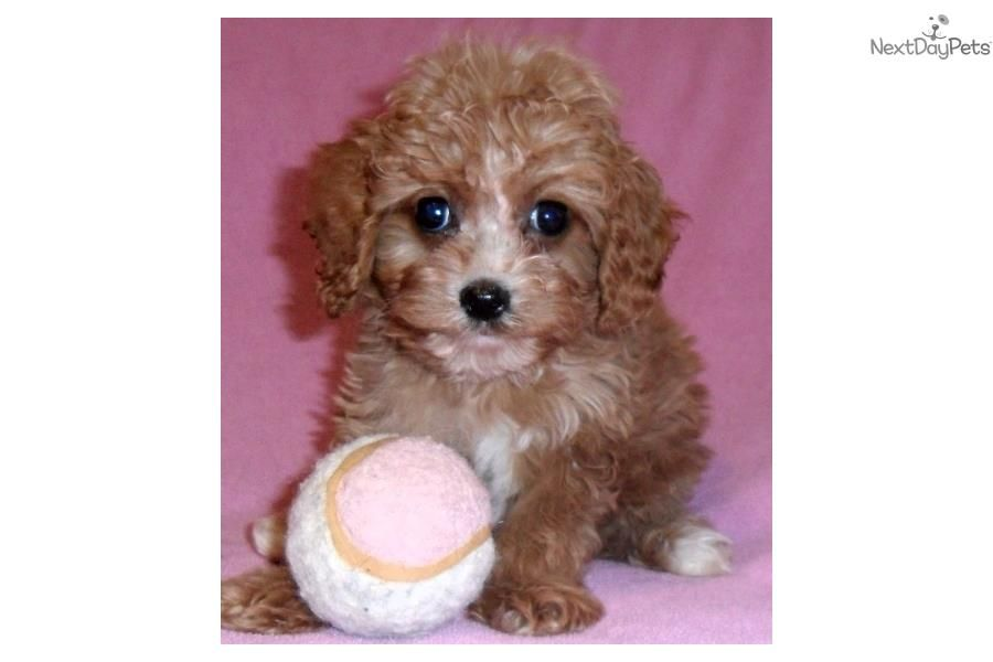Ruby, Female Cavapoo puppy for Sale in Ohio Cavapoo