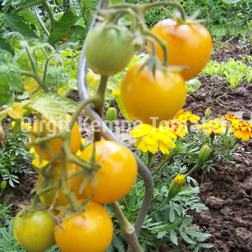 Indian Moon Tomatensorten Pflanzen Garten