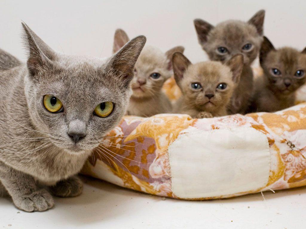 Burmese Kittens Katzen