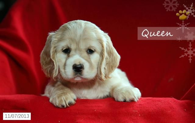 Queen - Cocker Spaniel Puppy for Sale in Airville, PA - Cocker Spaniel - Puppy for Sale