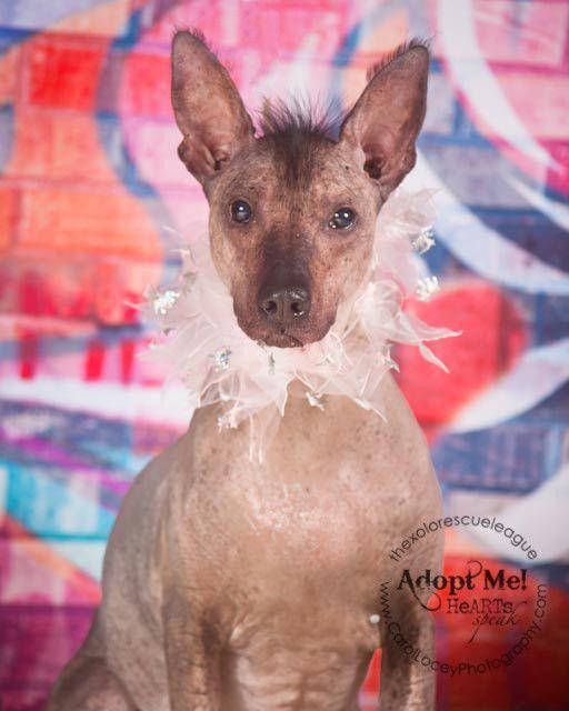 Xoloitzcuintli Mexican Hairless Dog Mexican Hairless Dog Hairless Dog Xoloitzcuintli