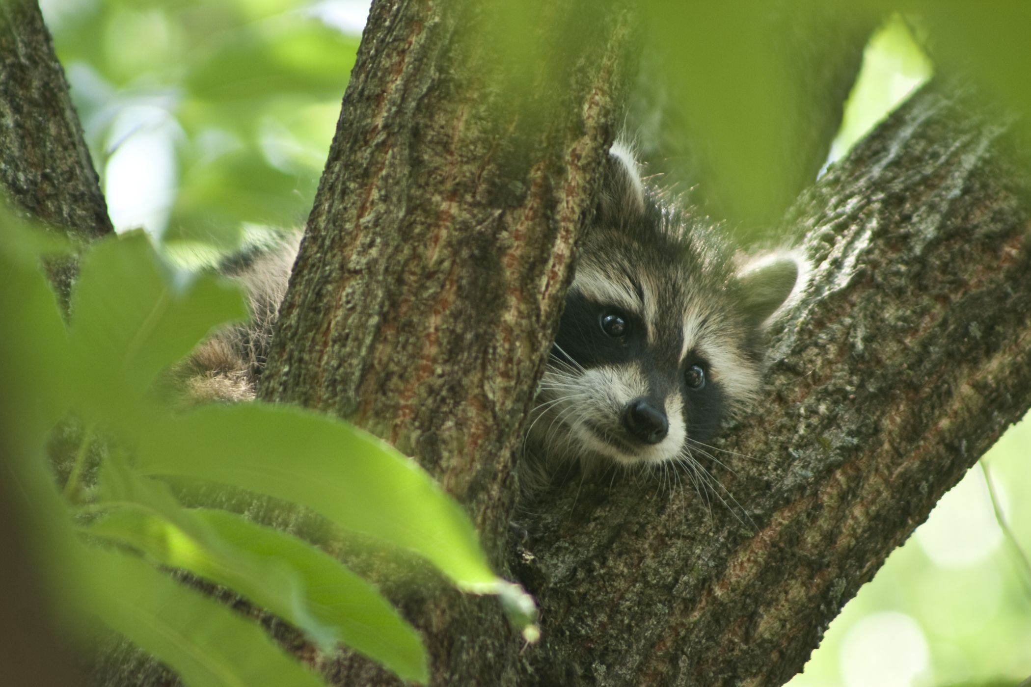 A baby raccoon hiding out in the English Woodland Garden at #mobot ...