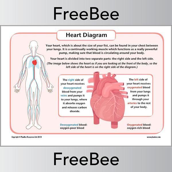 Simple Heart Diagram in 2020 | Heart diagram, Free math ...