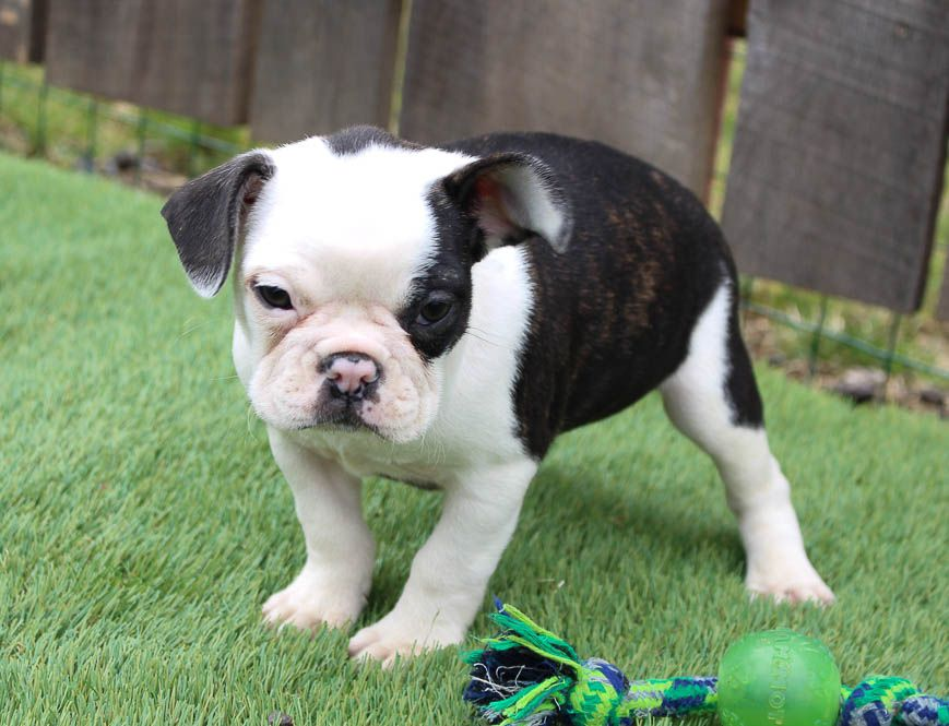 Farnell in 2020 puppy finder puppies puppy adoption