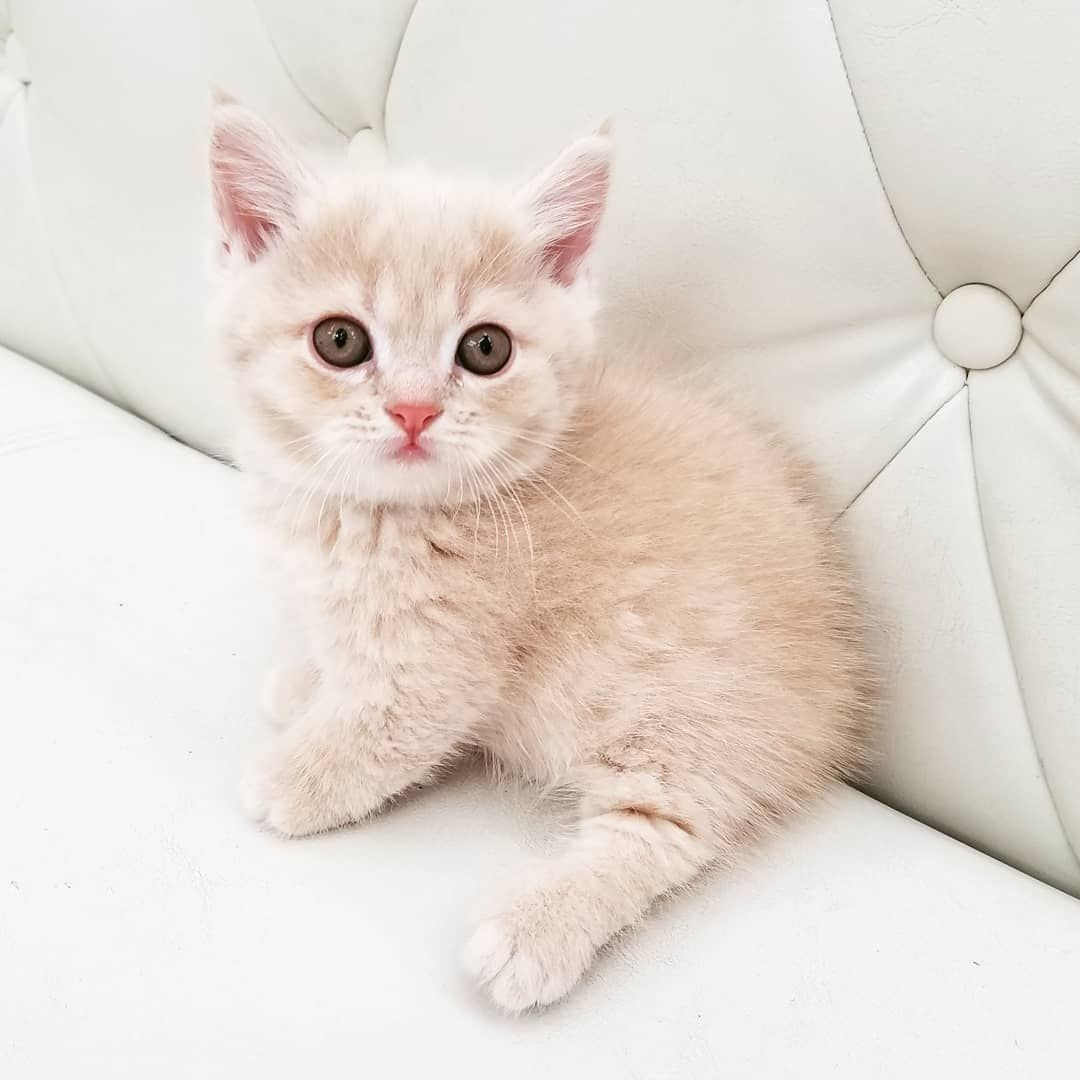 British shorthair cats are an intelligent and playful
