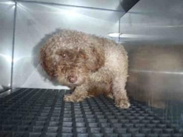 Check out Willow's profile on AllPaws.com and help her get adopted! Willow is an adorable Dog that needs a new home. https://www.allpaws.com/adopt-a-dog/poodle-miniature/3981751?social_ref=pinterest