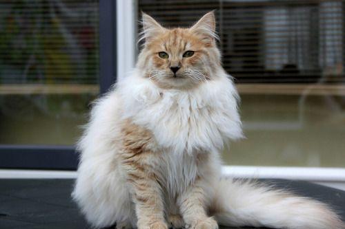Amber Smoke Norwegian Forest Cat Pretty Cats Cat Stock
