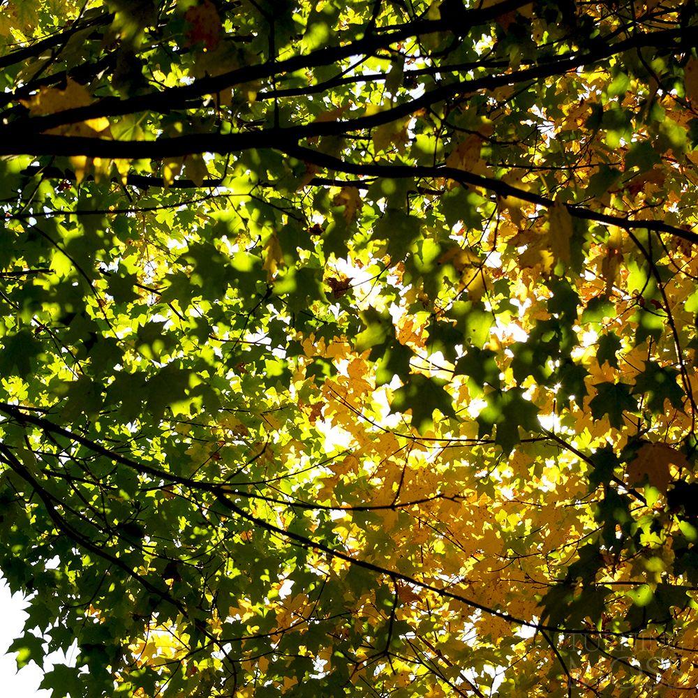 Fall Maple Komorebi