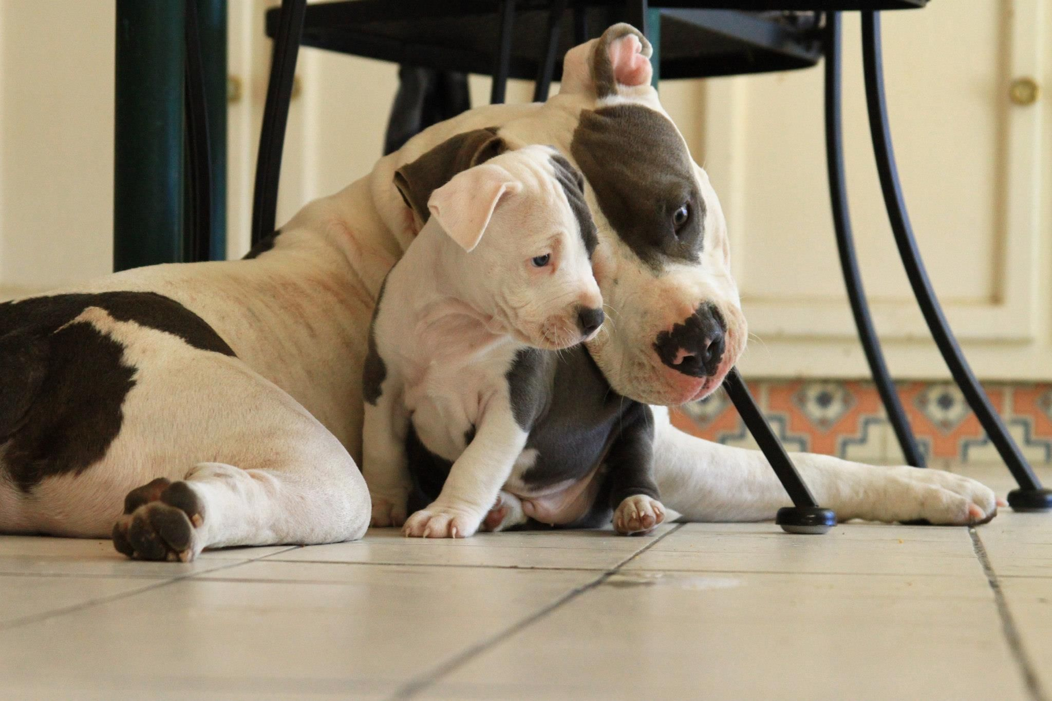 A Mom And Her Son Pitbulls Baby Dogs Cute Dogs Pitbulls