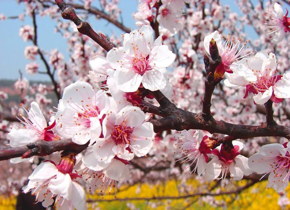 China S Apricot Blossom Will Take Your Breath Away Apricot Blossom Peach Blossom Tree Blossom Garden