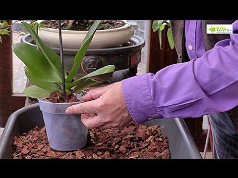comment bien rempoter une orchid e phalaenopsis. Black Bedroom Furniture Sets. Home Design Ideas