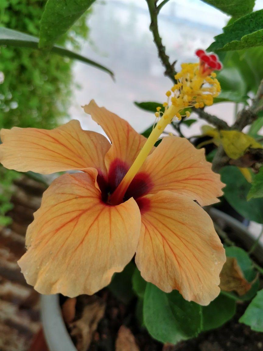 Light Orange Coloured Hibrid Hibiscus Flower Hibiscus Hibiscus Flowers Flowers