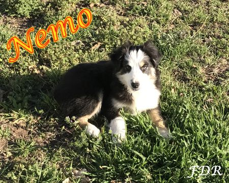Miniature Australian Shepherd Puppy For Sale In Forestburg Tx Adn 25848 On Puppyfinder Com Gender Male Age 16 Weeks Old Miniature Australian Shepherd